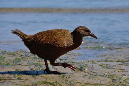 Stewart Island weka on the beach | © Tomas Sobek/Flickr