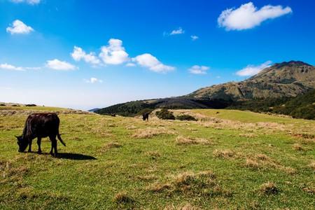 Wild cows in Yangmingshan National Park | © Paul Chan / Flickr