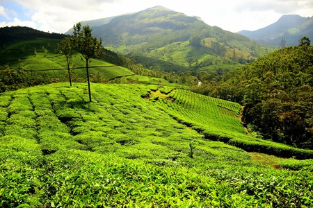 Munnar in Kerala is best-known for its tea plantations |