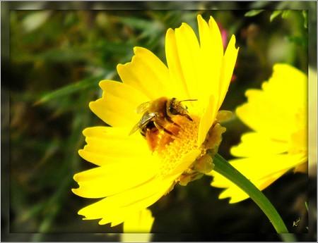 Maltese Honey Bee