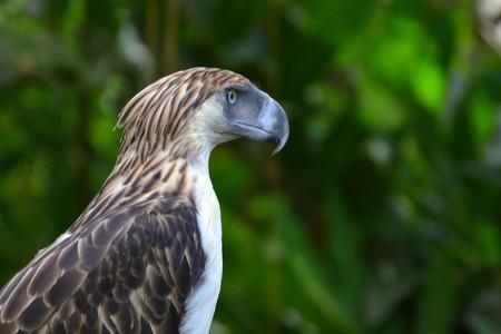 Philippine Eagle   © Shankar S. / Flickr