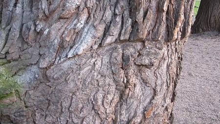 One of the battle scars left on an Elm Tree in Kungstradgarden   © Holger.Ellgaard/WikiCommons