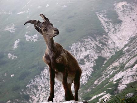 Ibex in the Swiss Alps   © sAlesa/ Pixabay