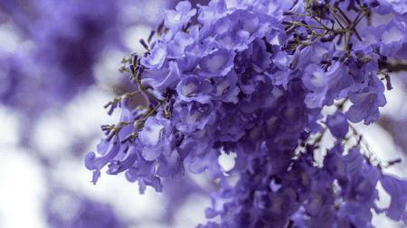 Closeup of jacaranda flowers | ©Christianabella/Pixabay