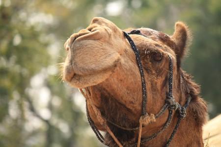 Kazakh camel | © Ajayvir Pal/Pexels
