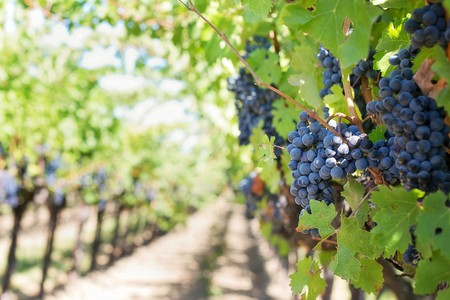 Vineyard | © jill111 / Pixabay
