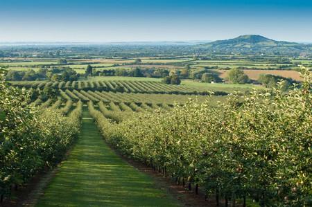 Thatcher's orchard, Somerset