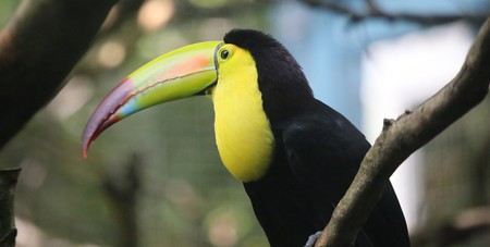 The keel-billed toucan is the national bird of Belize, and can also be seen in Guatemala | © cuatrok77 / Flickr