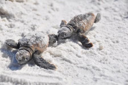 Turtle hatchlings | © Bureau of Land Management/Flickr