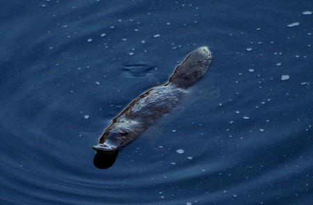 Platypus  © Sabrina Setaro / Flickr
