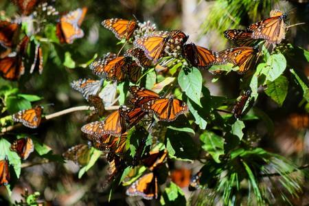 Monarch butterflies│© Rafael Saldaña / Flickr