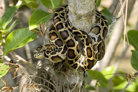 Burmese python in the Everglades | © skeeze / Pixabay