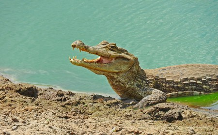 Caiman in the Colombian Llanos