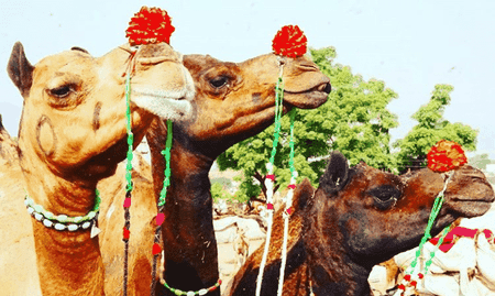 Camels at Pushkar Camel Mela   © Lucy Plummer