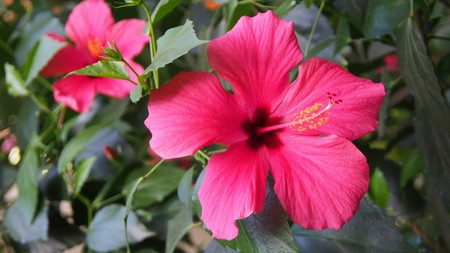 Malaysia's National Flower, Hibiscus   © Real Moment/Shutterstock