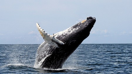 A humpback whale emerging from the deep