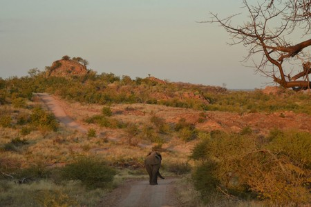 The Limpopo floodplain has allowed some trees at Mapungubwe to grow to huge sizes