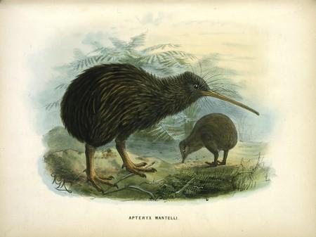Lithograph, Apteryx Mantelli (North Island kiwi), London, 1873