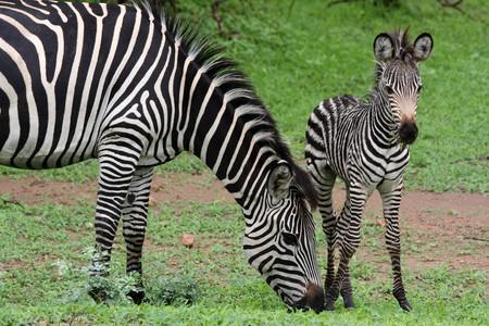 Zebras at South Luangwa National Park| © yeowatzup / Flickr