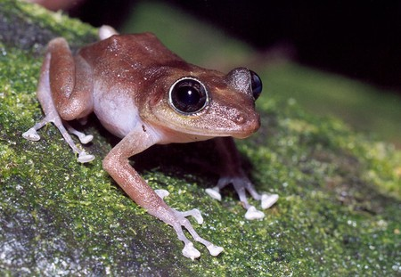 The coquí frog