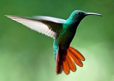 Greenbreasted Mango Hummingbird