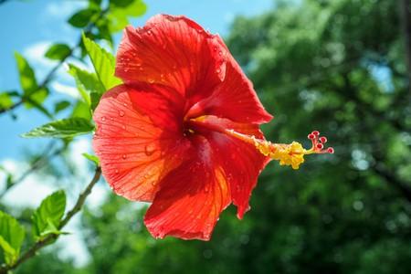 Red hibiscus flower | © Jason Kautz / Shutterstock