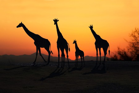 A family of African Giraffes silhouetted at sunset