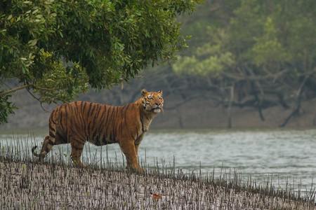 Royal Bengal Tiger at Sundarbans National Park   Soumyajit Nandy /WikiCommons