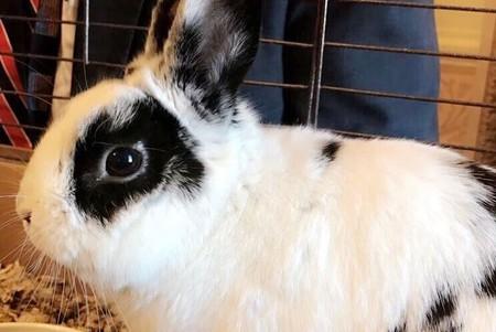 Marlon Bundo, the Pence family's pet rabbit