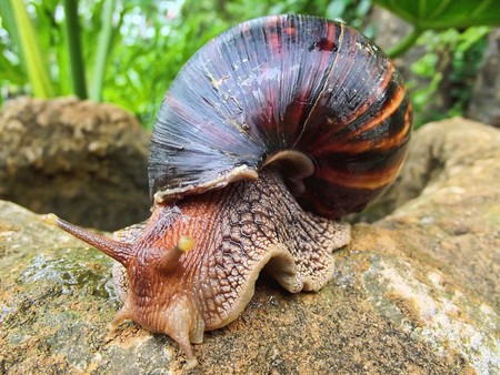 The giant African land snail has multiple health benefits