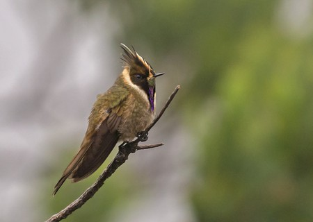 Buffy Helmetcrest in Colombia