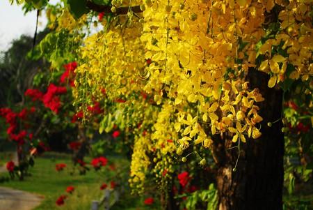 The bright yellow flowers of ratchaphruek | © Thanate Tan / Flickr