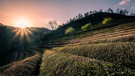 Tea fields at Daehan Dawon   © Giuseppe Milo / Flickr