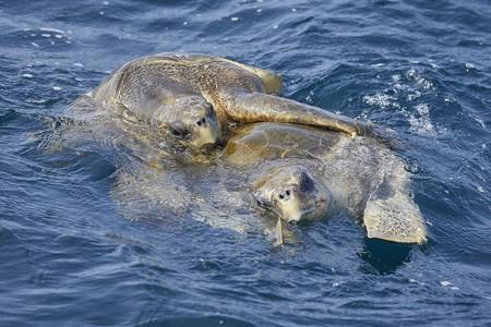 Green Turtles mating in Sri Lanka waters  
