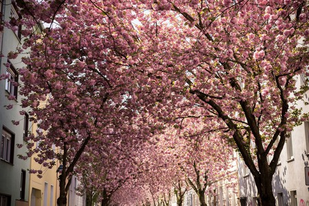 Beautiful blossoms in Bonn, Germany