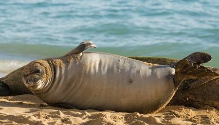 Hawaiian Monk Seals