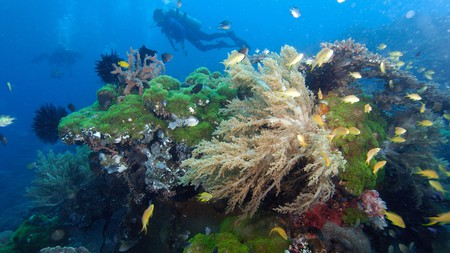 Divers explore highly diverse coral reef Apo Island marine reserve Philippines Visayan sea