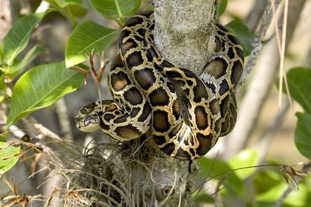 A Burmese Python in Everglades National Park   Public Domain / Pixabay