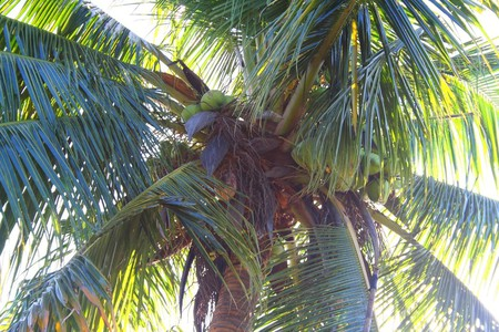 Coconuts: the essence of the Caribbean