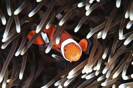 Clown fish, Great Barrier Reef, Australia