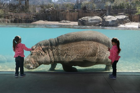 Children are delighted by a hippo at the Dallas Zoo.