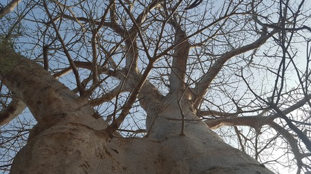 A baobab tree was believed to have eaten young maidens