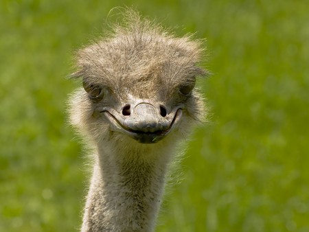 An innocent looking ostrich