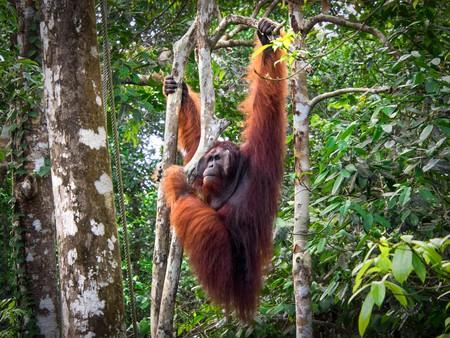 Alpha male Borneo Orangutan Semenggoh Nature Reserve