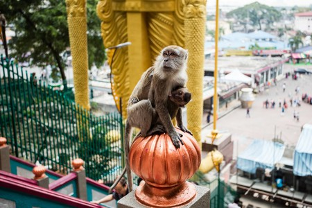 Macaque monkey in Batu Caves