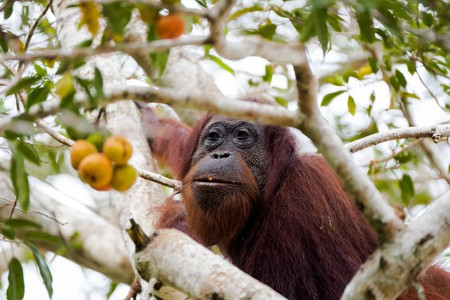 A female orangutan in Borneo