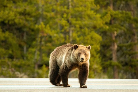 """Lewis and Clark came up with the phrase """"grizzly bear"""""""