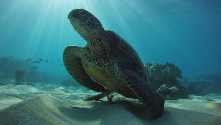 The green sea turtle can often be seen in the waters of the Hawaiian Islands