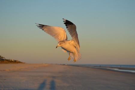 Bird Flying on Hilton Head Beach