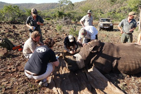 Preparing a white rhino for dehorning